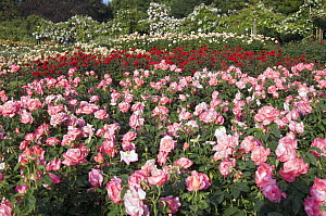 Cultivated Roses in Queen Mary's Gardens, Regents Park, London, UK.  -  Georgette Douwma
