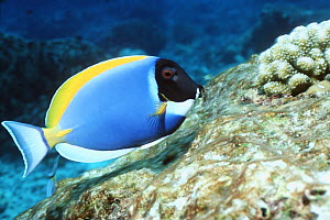 Powderblue surgeonfish (Acanthurus leucosternon) grazing on coral rock. Andaman Sea, Thailand. - Georgette Douwma