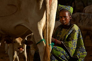Fulani woman milking cow, North Senegal, West Africa  -  Laurent Geslin
