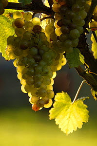 Bunch of cultivated white Grapes {Vitis vinifera} Switzerland. Not for sale to magazines. - Laurent Geslin