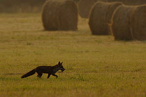 Fox (Vulpes vulpes)  in field with rodent prey. France.  -  Laurent Geslin