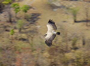 Long billed vulture {Gyps indicus} in flight, viewed from above, Bandhavgarh National Park, India  2007 - Tony Heald