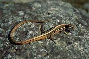 Wall lizard {Takydromus wolteri} Ussuriland, South primorskiy, Far East Russia  -  Yuri Shibnev