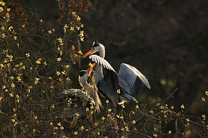 Grey heron {Ardea cinerea} pair courting on their nest in spring with blossom surrounding them. Regents Park, London, England  -  Laurent Geslin