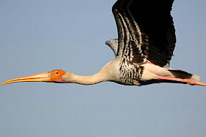Painted stork (Mycteria leucocephala) flying, Barathpur, Rajasthan, India.  -  Laurent Geslin
