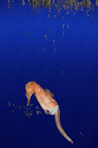 Northern / lined / Atlantic seahorse (Hippocampus erectus) male giving birth, expelling fry from pouch,  young fry then float to the water's surface. Captive, digitally manipulated - Doug Perrine
