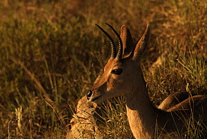 Male Mountain reedbuck {Redunca fulvonufula} Ithala Game Reserve, South Africa  -  Dave Watts