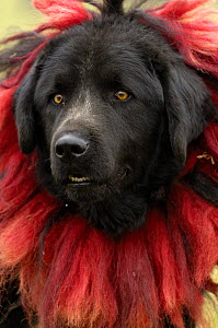 Tibetan Mastif domestic dog {Canis familiaris} at the Horse Racing Festival or 'Heavenly Steed Festival' which takes place on the 5th and 6th days of the fifth lunar month. Zhongdian, Deqin Tibetan Au...  -  Pete Oxford