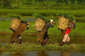 Bai ethnic minority people carrying rice plants in baskets through paddy fields for replanting. Jianchuan County, bordering Lijiang, Yunnan Province, China 2006  -  Pete Oxford