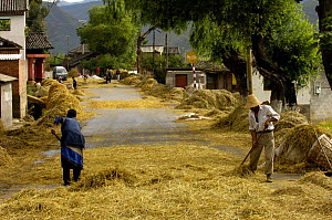 Bai ethnic minority people laying wheat on the road for vehicles to drive over to separate the wheat from the stems / chaff. Jianchuan County, bordering Lijiang, Yunnan Province, China 2006  -  Pete Oxford
