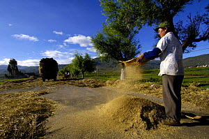 Bai ethnic minority person laying wheat on the road for vehicles to drive over to separate the wheat from the stem. Jianchuan County bordering Lijiang, Yunnan Province, China 2006  -  Pete Oxford
