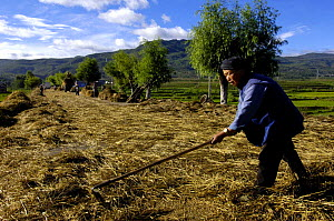 Bai ethnic minority people laying wheat on the road for vehicles to drive over to separate the wheat from the stem. Jianchuan County bordering Lijiang, Yunnan Province, China 2006  -  Pete Oxford