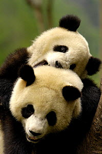 Two Giant Pandas (Ailuropoda melanoleuca) play fighting, Wolong China Conservation and Research Centre for the Giant Panda within Wolong Reserve, Sichuan Province, China 2006  -  Pete Oxford