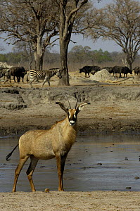 Roan (Hippotragus equinus) antelope stood at a waterhole with Zebra (Equus quagga) and Buffalo (Synceros caffer caffer) in the background, Makalolo Plains, Hwange National Park, Zimbabwe,  Southern Af...  -  Pete Oxford