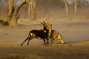 Lioness {Panthera leo} catching a Sable {Hippotragus niger} antelope, Hwange National Park, Zimbabwe, Southern Africa. Sequence - Pete Oxford