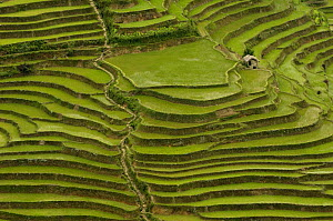 Rice terraces of the Ailao Mountains between the Red River and Vietnam. Honghe Prefecture, Yuanyang, Yunnan Province, China 2006  -  Pete Oxford
