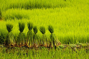 Rice terraces with bundles of rice plants, Ailao Mountains between the Red River and Vietnam. Honghe Prefecture, Yuanyang, Yunnan Province, China 2006  -  Pete Oxford