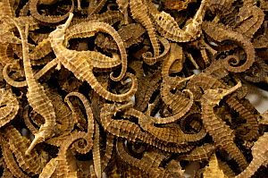 Dried seahorses for sale at Kunming Traditional Medicine Market. Yunnan Province, China 2006  -  Pete Oxford