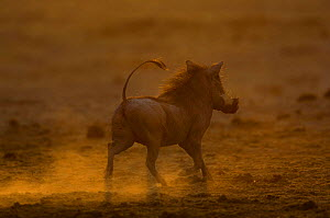 Warthog (Phacoecerus aethiopicus) running at sunset, Savuti channel, Botswana, Southern-Africa  -  Pete Oxford