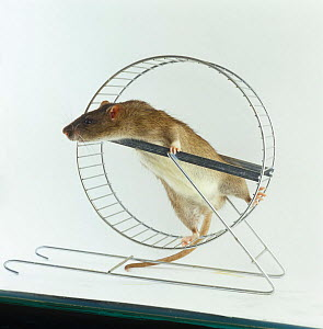 Agouti tame Rat {Rattus sp} climbing in exercise wheel - Jane Burton