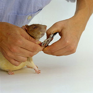 Clipping the front toe nails of an Agouti-hooded Rat {Rattus sp}, Model released - Jane Burton