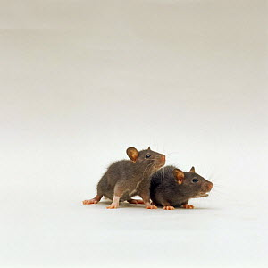 Two chocolate baby Rats {Rattus sp}, 5 weeks old - Jane Burton