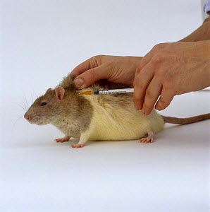 Vet nurse jabbing Agouti-hooded Rat {Rattus sp} with Ivermectin against skin mites,  Model released - Jane Burton