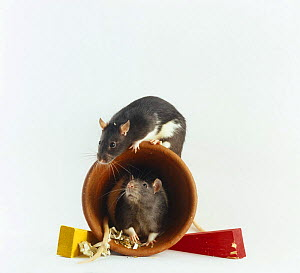 Two Rats {Rattus sp} playing on a flower pot (the flowerpot is used as a nest box, the coloured wedges are for gnawing) - Jane Burton