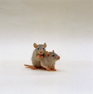 Two silver baby Rats {Rattus sp}, 5 weeks old - Jane Burton