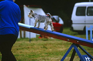 Miniature Schnauzer on the seesaw plank during an agility competition. - Jane Burton