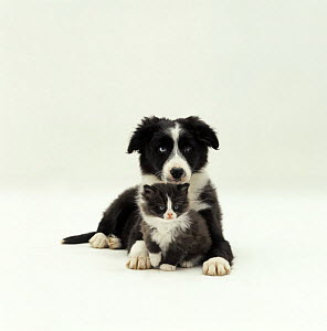 Odd-eyed Border Collie pup, 12 weeks old, lying with black and white kitten, 6 weeks old NOT AVAILABLE FOR BOOK USE - Jane Burton