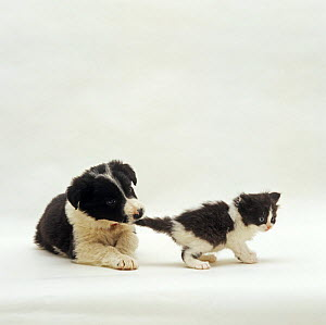 Border Collie pup Phoebe pulling black and white kitten's tail NOT AVAILABLE FOR BOOK USE  -  Jane Burton