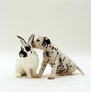 Dalmatian pup sniffing the ear of English spotted male rabbit NOT AVAILABLE FOR BOOK USE  -  Jane Burton