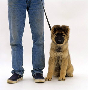 German Shepherd pup, 12 weeks old, on a lead sitting next to its owner - Jane Burton