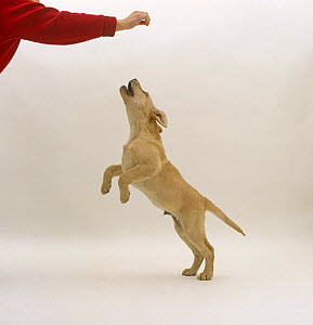 Yellow Labrador Retriever pup, 12 weeks old, jumping at hand which might be holding a treat. - Jane Burton