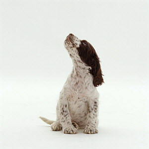 English Springer Spaniel pup, 8 weeks old, sitting and looking up, expecting a treat - Jane Burton