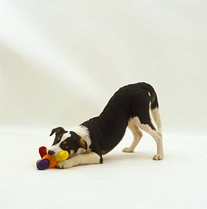 Border Collie x New Zealand Huntaway pup, play-bowing with toy, 18 weeks old - Jane Burton