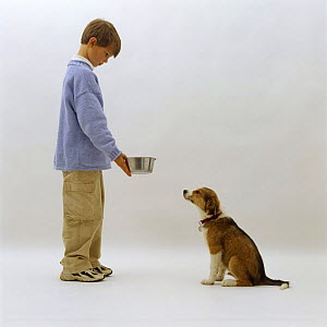 Boy making a Border Collie pup sit down before giving him his dinner  -  Jane Burton