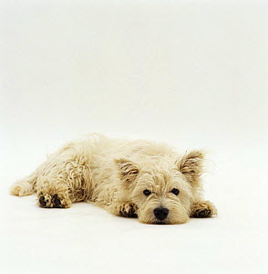 West Highland Terrier / Westie, lying down with chin on ground  -  Jane Burton