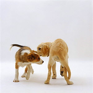 Sable Border Collie dog pup, 14 weeks old, and Labrador x Golden Retriever pup, 16 weeks old, circling each other to sniff tails on first meeting  -  Jane Burton