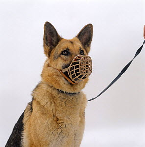 German Shepherd / Alsatian bitch wearing a muzzle - Jane Burton