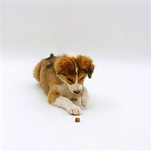 Sable Border Collie puppy, learning to 'leave' a food treat until told to 'take' - Jane Burton