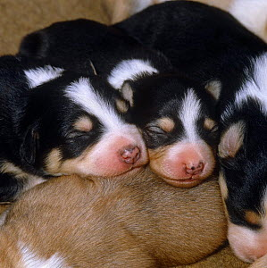 Sleeping 9-day puppies showing pigment freckles on nose  -  Jane Burton