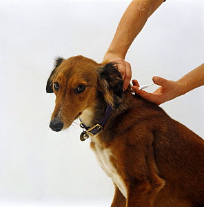 Vet nurse about to insert micro-chip into neck of Saluki Lurche - Jane Burton