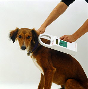 Checking micro-chip using Bayer reader on Saluki Lurcher, Model released - Jane Burton