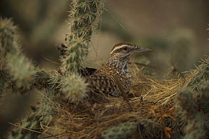 Cactus Wren (Campylorhnchus brunneicapillus) on nest in cholla cactus, Arizona, USA  -  John Cancalosi
