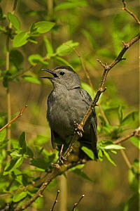 Gray Catbird {Dumetella carolinensis} singing, USA - John Cancalosi