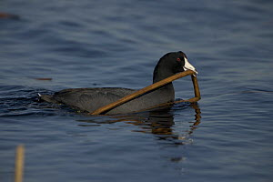 American Coot {Fulica americana} carrying nest material, NY, USA  -  John Cancalosi