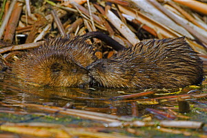 Muskrat {Ondatra zibethica} pair in water, NY, USA - John Cancalosi