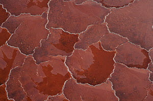 Soda crust on Lake Natron, Tanzania, coloured red by alkali cyanobacteria  -  Owen Newman